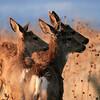 """""""Antelope Trio"""""""