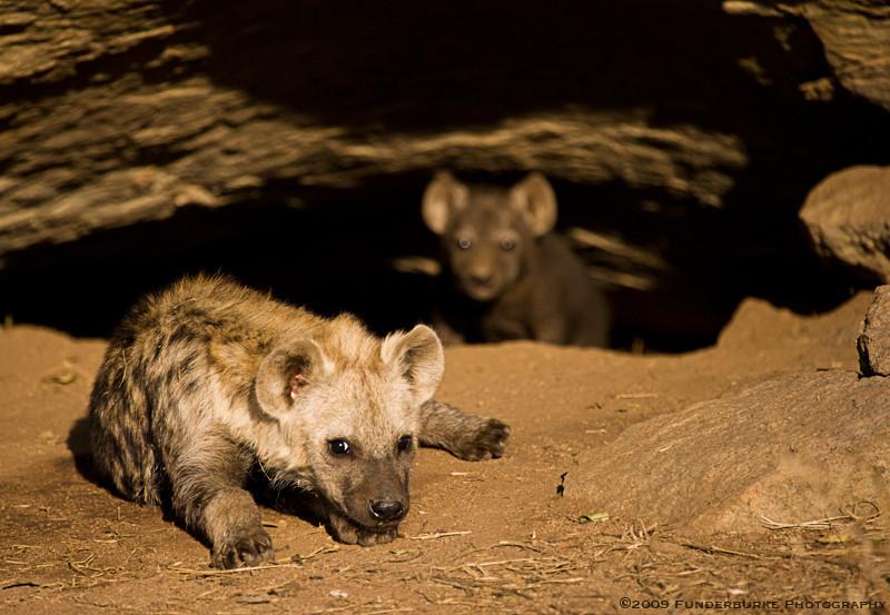 Spotted hyena cubs, Kruger National Park