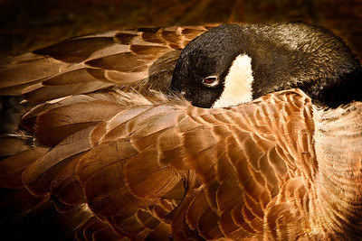 napping goose
