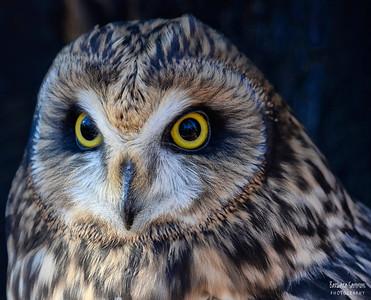 """""""Shiva"""" - Short Eared Owl The Carolina Raptor Center ~ Huntersville, NC"""
