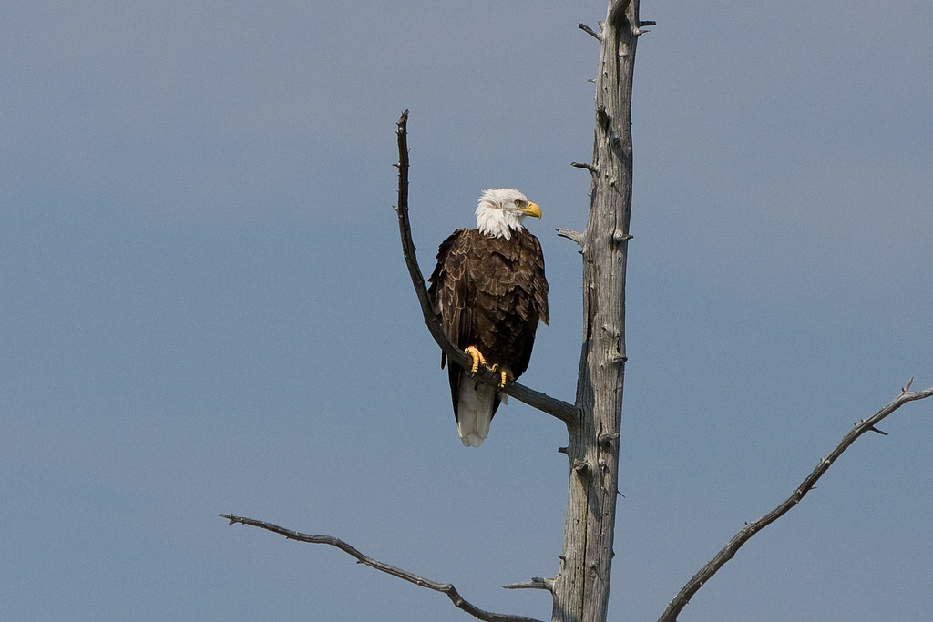 A Bald Eagle perches, Keweenaw County.