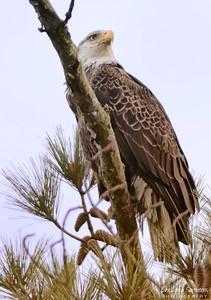 Bald Eagle ~ Huntington Beach State Park Murrells Inlet, South Carolina