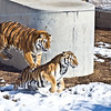"Had a great time today at the wild animal sanctuary. Check out these tigers ""playing"". Hate to get in the middle of this."