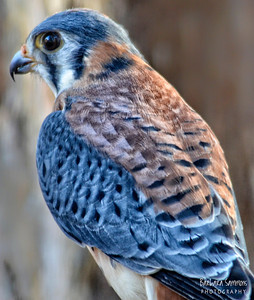 """Puck"" - American Kestrel The Carolina Raptor Center ~ Huntersville, NC"