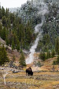 wlc Yellowstone 0919 4412019