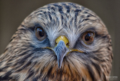 """Aletta"" - Rough-legged Hawk The Carolina Raptor Center ~ Huntersville, NC"