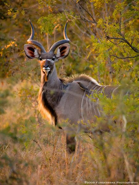 Male Kudu, Kruger National Park