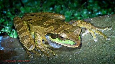 Masked Cross Banded Tree Frog