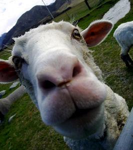 lamb in New Zealand