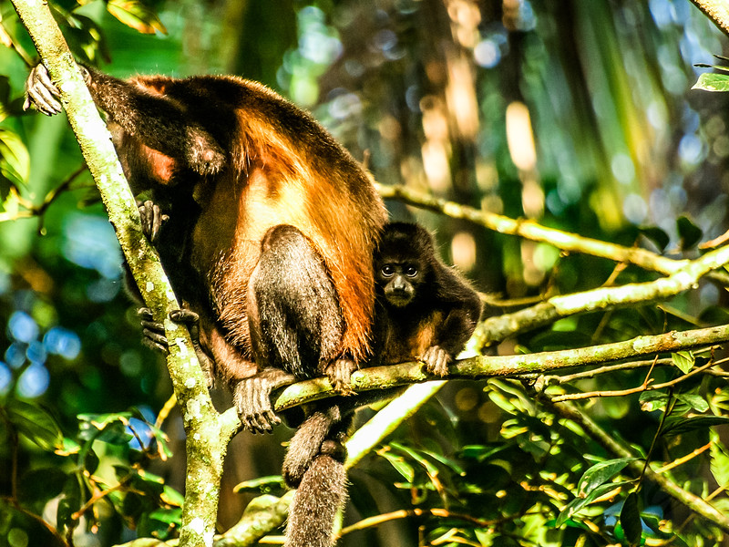 Mantled Howler cub in Manuel Antonio National Park - Costa Rica