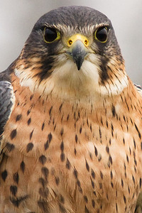 "A ""Perlin"" - a hibrid Peregrine Falcon/Merlin - a very beautiful and very fast bird!"