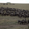 Wildebeest on migration, Marai Mara Reserve.
