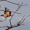 Merlin hawk in Wilcox, Arizona.