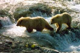 Bears, wildlife, river