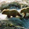 Bears, wildlife, river