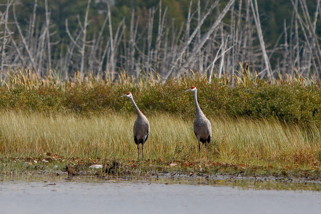 Sandhill Cranes in the Keweenaw Peninsula.