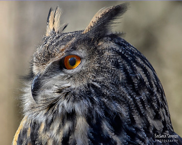 """Dudley"" - Great Horned Owl The Carolina Raptor Center ~ Huntersville, NC"