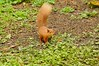 Red Squirrel At Wallington