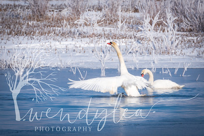 wlc swans and slc temple97February 06, 2016