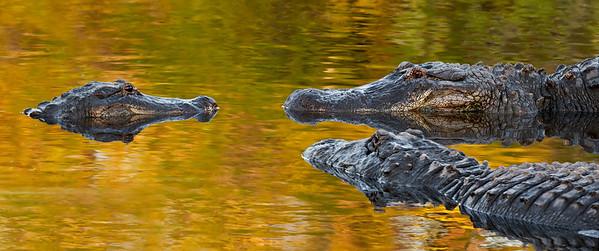 American alligator confrontation
