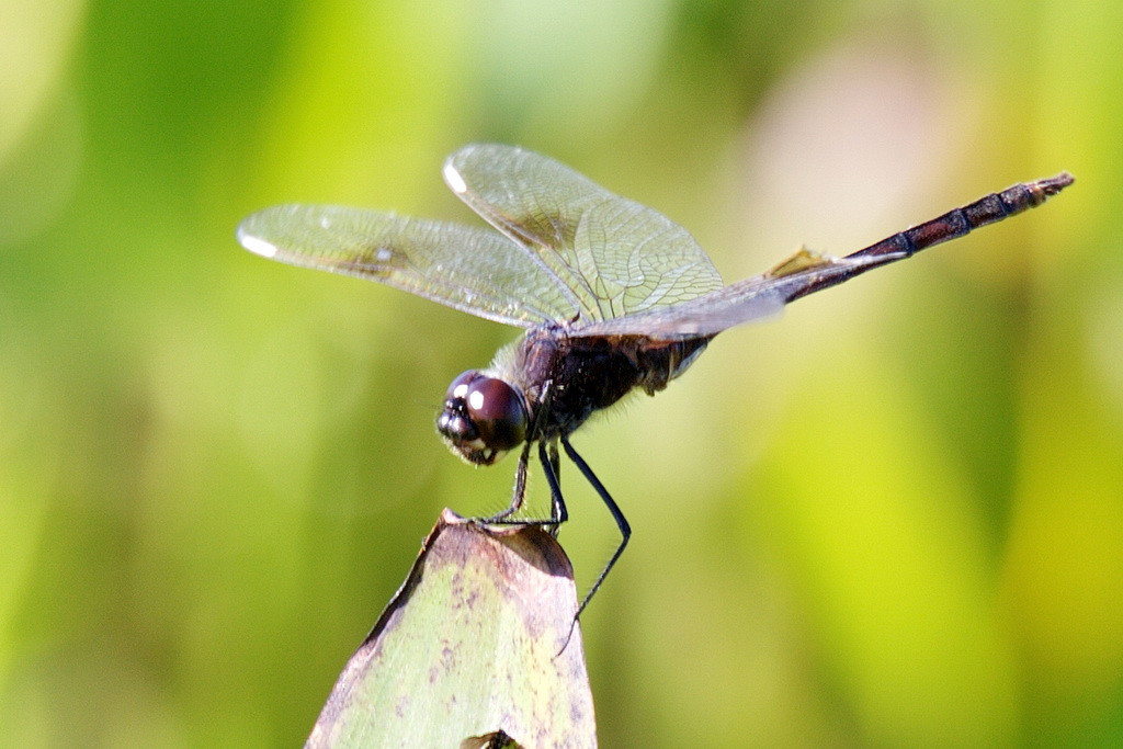 4786 Again, a male, four-spotted pennant dragonfly, but from a front oblique angle.