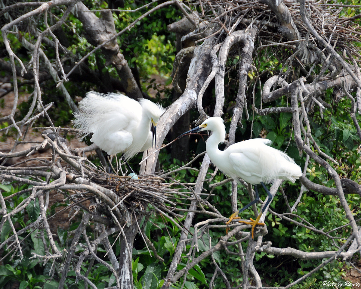 Nesting Egrets at High Island