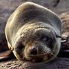 WILD0040 Sombre Seal