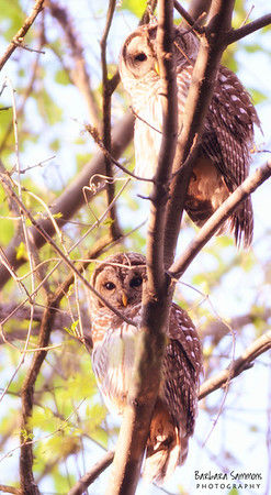 Barred Owls The Bog Garden ~ Greensboro, NC