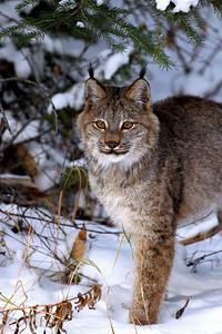 """""""Canada Lynx"""""""