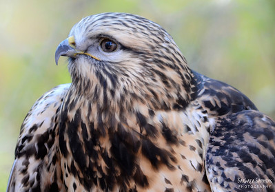 """DC"" - Broad-Winged Hawk The Carolina Raptor Center ~ Huntersville, NC"