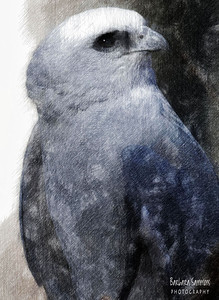 """Panya"" - Mississippi Kite The Carolina Raptor Center ~ Huntersville, NC  ~Processed in PstworkShop 3; light color pencils"