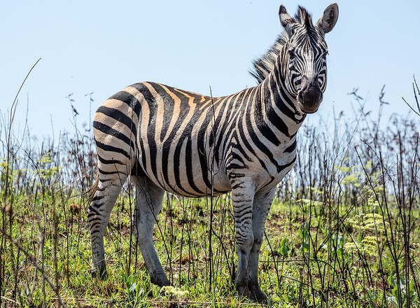 Mountain Zebra - Mlilwane Wildlife Sanctuary, Swaziland
