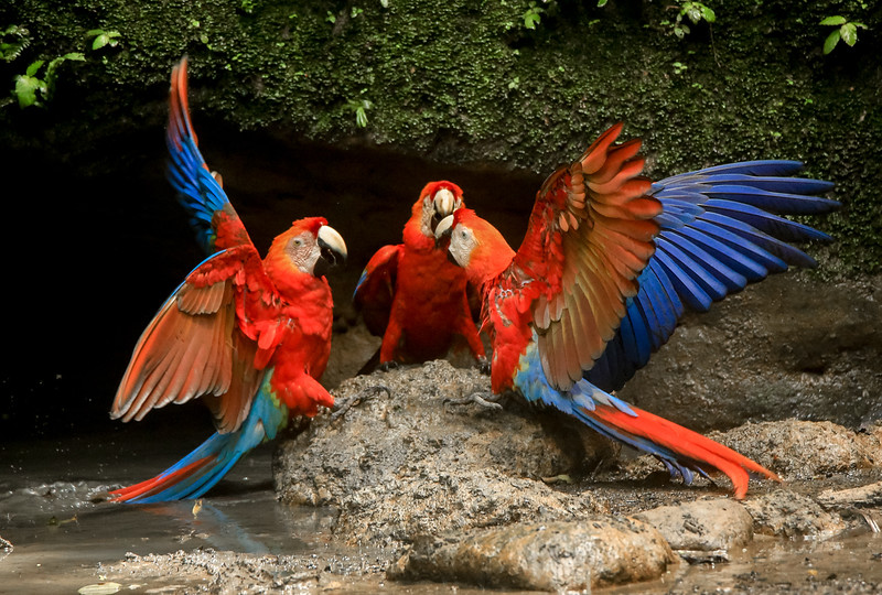 Red Macaw at Yusuní National Park, Amazon, Ecuador