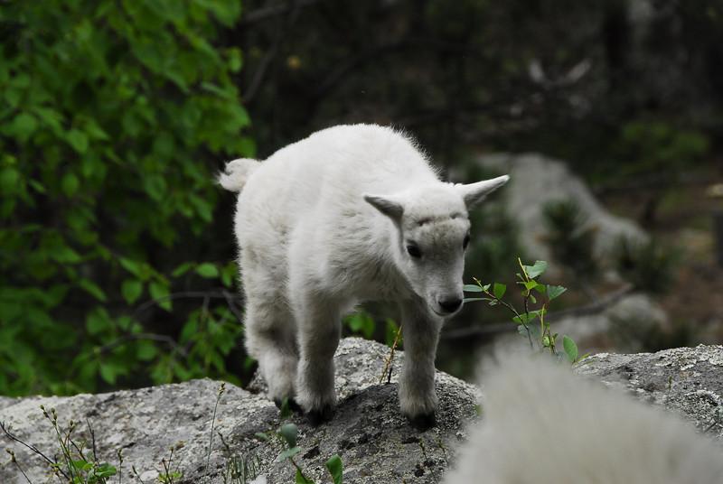 Baby mountain goat at Mount Rushmore National Memorial