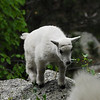 Baby mountain goat at Mount Rushmore National Memorial
