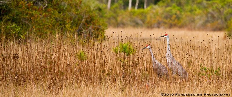 Sandhill Cranes, Okefenokee Swamp, Georgia