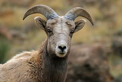 """""""Rocky Mountain Sheep"""""""