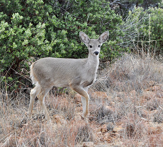 Coues Whitetail Yearling