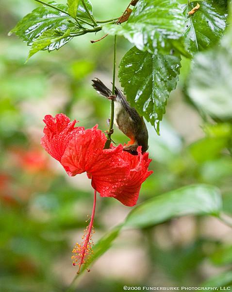 Hummingbird, Ko Phi Phi, Thailand