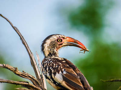 A Southern yellow-billed hornbill eating a grasshopper - Kruger National Park, South Africa