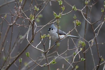 Tufted Titmouse 1