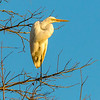 White Egret on  Watch