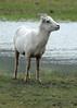 Big Horn Ewe