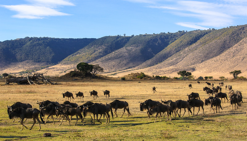 Herd of Wildbeasts (Gnus) - Ngorongoro Crater, Tanzania