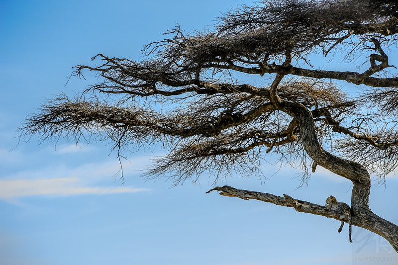 Leopard in Acacia Tree - Serengeti National Park, Tanzania