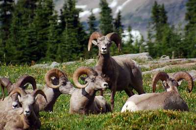 Big Horn Ram at Glacier National Park