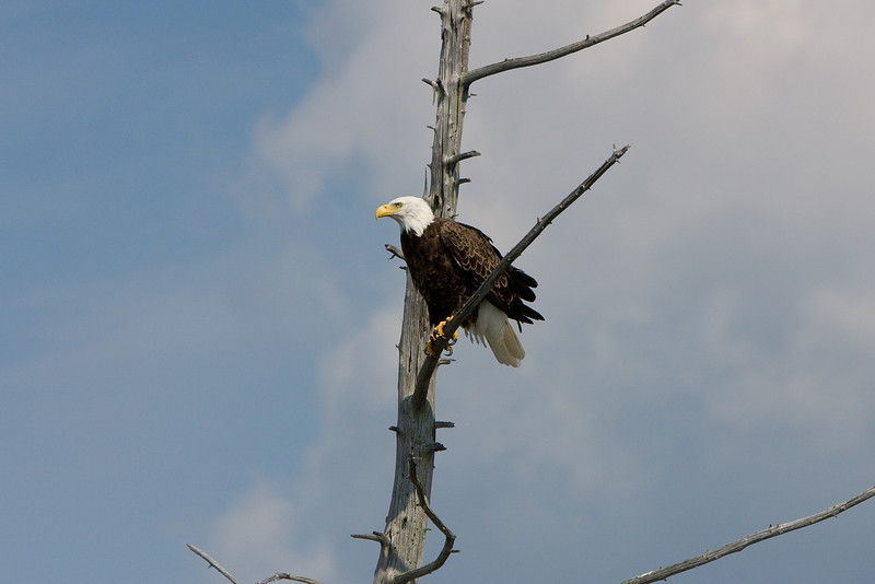 The majesticness of a Bald Eagle, Keweenaw County.