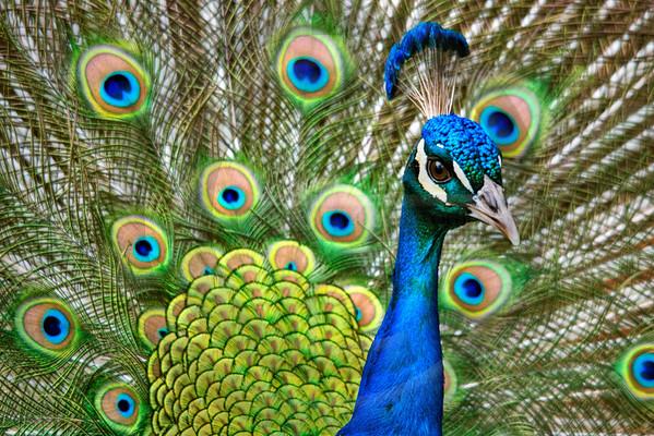 WILD0162 Peacock 2