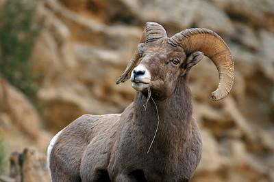 """Rocky Mountain Ram"""