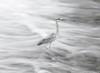 Heron - Takayama River, Japan